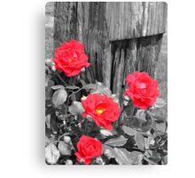 Wild Irish Roses? Canvas Print