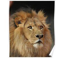 Lion Jambo-3 Poster