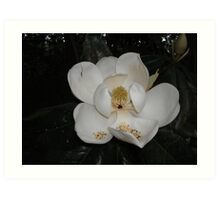 Southern Magnolia - first blossom Art Print