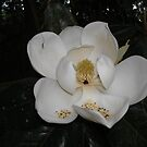 Southern Magnolia - first blossom by May Lattanzio
