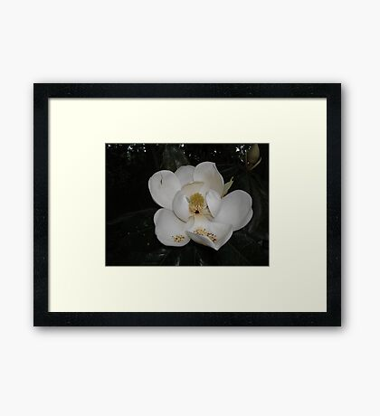 Southern Magnolia - first blossom Framed Print