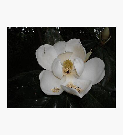 Southern Magnolia - first blossom Photographic Print