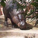 baby hippo by sharon wingard