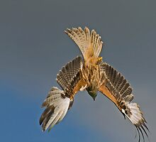 Red Kite Diving by Daveart