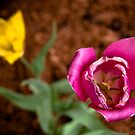 Tulip Duo  by Rachel Blumenthal