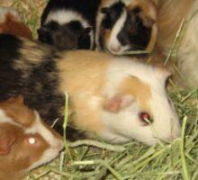 Herd of Guinea Pigs Sticker