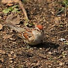 Chipping Sparrow by Vickie Emms