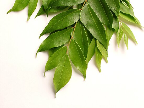 Curry Leaves by AravindTeki