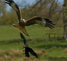 Red Kite by Daveart