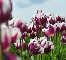 Purple and White Tulips by genielamb