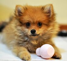 Special Pomeranian