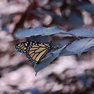 Millennium Monarch by rabeeker