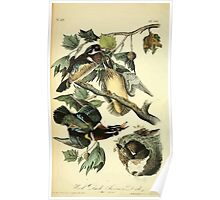 James Audubon Vector Rebuild - The Birds of America - From Drawings Made in the United States and Their Territories V 1-7 1840 - Wood Duck or Summer Duck Poster