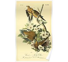 James Audubon Vector Rebuild - The Birds of America - From Drawings Made in the United States and Their Territories V 1-7 1840 - Carolina Turtle Dove Poster