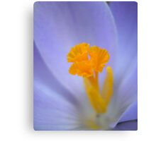 Purple Crocus Canvas Print