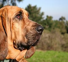 Tiny Bloodhound