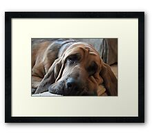 Well-trained Bloodhound