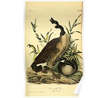 James Audubon Vector Rebuild - The Birds of America - From Drawings Made in the United States and Their Territories V 1-7 1840 - Canada Goose Poster