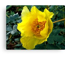 Golden Tree Paeony Canvas Print