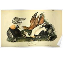 James Audubon Vector Rebuild - The Birds of America - From Drawings Made in the United States and Their Territories V 1-7 1840 - Eider Duck Poster