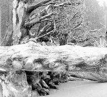 Roots by Jennifer Murray