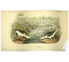 James Audubon Vector Rebuild - The Birds of America - From Drawings Made in the United States and Their Territories V 1-7 1840 - Spotted Sandpiper Poster