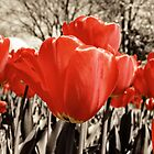 Tulips on Rust by Bella  Cirovic