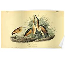James Audubon Vector Rebuild - The Birds of America - From Drawings Made in the United States and Their Territories V 1-7 1840 - Least Bittern Poster
