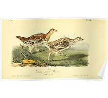 James Audubon Vector Rebuild - The Birds of America - From Drawings Made in the United States and Their Territories V 1-7 1840 - Sharp Tailed Grouse Poster