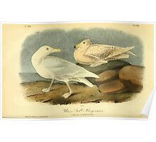 James Audubon Vector Rebuild - The Birds of America - From Drawings Made in the United States and Their Territories V 1-7 1840 - Glaucus Gull or Burgomaster Poster