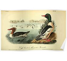 James Audubon Vector Rebuild - The Birds of America - From Drawings Made in the United States and Their Territories V 1-7 1840 - Buff Breasted Merganter or Goosander Poster