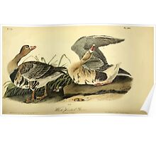 James Audubon Vector Rebuild - The Birds of America - From Drawings Made in the United States and Their Territories V 1-7 1840 - White Fronted Goose Poster