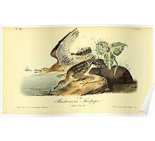 James Audubon Vector Rebuild - The Birds of America - From Drawings Made in the United States and Their Territories V 1-7 1840 - Bartramian Sandpiper Poster