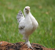 Farm talk - Snoodles, a chick with attitude! by Maree  Clarkson