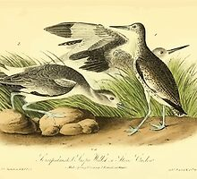 James Audubon Vector Rebuild - The Birds of America - From Drawings Made in the United States and Their Territories V 1-7 1840 - Semipalmated Snipe Willet or Stone Curlew by wetdryvac