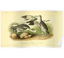 James Audubon Vector Rebuild - The Birds of America - From Drawings Made in the United States and Their Territories V 1-7 1840 - Semipalmated Snipe Willet or Stone Curlew Poster