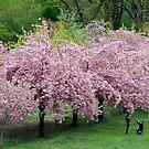 Cherry Blossom Portrait by Sassafras