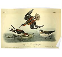 James Audubon Vector Rebuild - The Birds of America - From Drawings Made in the United States and Their Territories V 1-7 1840 - Hyperborean Phalarope Poster