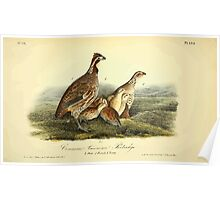 James Audubon Vector Rebuild - The Birds of America - From Drawings Made in the United States and Their Territories V 1-7 1840 - Common American Partridge Poster