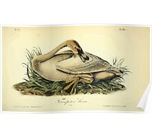 James Audubon Vector Rebuild - The Birds of America - From Drawings Made in the United States and Their Territories V 1-7 1840 - Trumpeter Swan Young Poster
