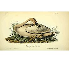 James Audubon Vector Rebuild - The Birds of America - From Drawings Made in the United States and Their Territories V 1-7 1840 - Trumpeter Swan Young Photographic Print