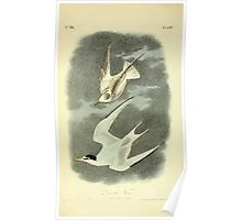 James Audubon Vector Rebuild - The Birds of America - From Drawings Made in the United States and Their Territories V 1-7 1840 - Least Tern Poster