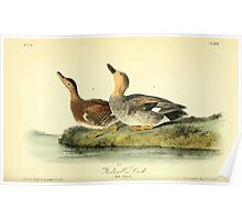 James Audubon Vector Rebuild - The Birds of America - From Drawings Made in the United States and Their Territories V 1-7 1840 - Gadwall Duck Poster