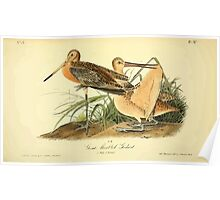 James Audubon Vector Rebuild - The Birds of America - From Drawings Made in the United States and Their Territories V 1-7 1840 - Great Marbled Godwit Poster