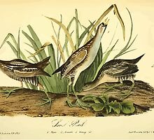 James Audubon Vector Rebuild - The Birds of America - From Drawings Made in the United States and Their Territories V 1-7 1840 - Sora Rail by wetdryvac
