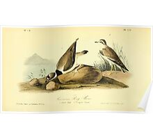 James Audubon Vector Rebuild - The Birds of America - From Drawings Made in the United States and Their Territories V 1-7 1840 - American Ring Plover Poster