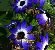 Purple flowers with black centre with white surrounds. by Marilyn Baldey