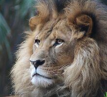 Lion by Alison  Gainge