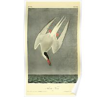 James Audubon Vector Rebuild - The Birds of America - From Drawings Made in the United States and Their Territories V 1-7 1840 - Arctic Tern Poster