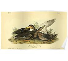 James Audubon Vector Rebuild - The Birds of America - From Drawings Made in the United States and Their Territories V 1-7 1840 - Dusky Duck Poster